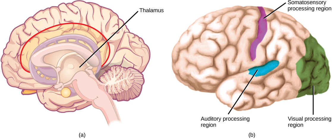 Illustration A shows side view of a human brain. The thalamus is in the inner, middle part. Illustration B shows the location of sensory processing regions in the brain. The visual processing region is at the back of the brain, the auditory processing region is in the middle of the brain, and the somatosensory processing region is located in a sliver-like region in the upper part of the brain and extending halfway down.