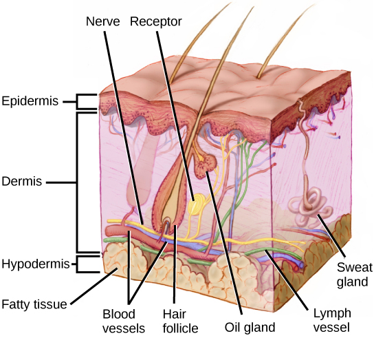 Illustration shows a cross section of mammalian skin. The outer epidermis is a thin layer, smooth on the outside, bumpy on the inside. The middle dermis is much thicker than the dermis. Blood, nerve and lymph vessels run along the bottom of it, and smaller capillaries and nerve endings extend to the upper part. One nerve ends in a receptor. Sweat glands extend from the dermis into the epidermis. Hair follicles extend from the base of the dermis to the upper part where they are joined by oil glands. Hairs extend from the follicles, through the epidermis and out of the skin. The hypodermis is a fatty layer beneath the dermis.