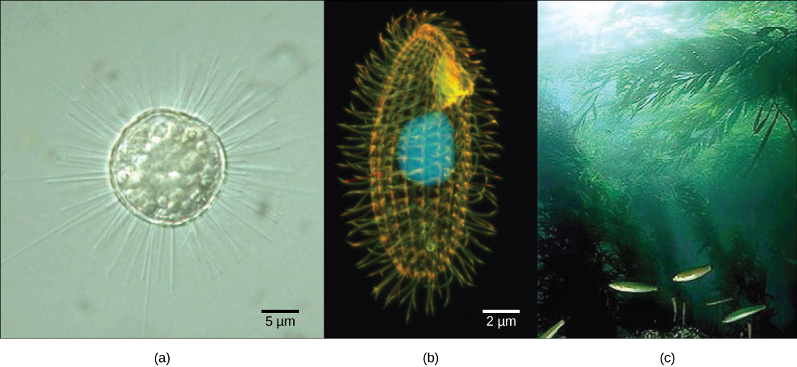 Part a is a micrograph of a round, transparent single-celled organism with long thin spines. Part b is a micrograph of an oval, transparent organism with ridges running along its length. The nucleus is visible as a large, round sphere. Cilia extend from the surface of the organism. Part c is an underwater photo of a kelp forest growing from the seabed.