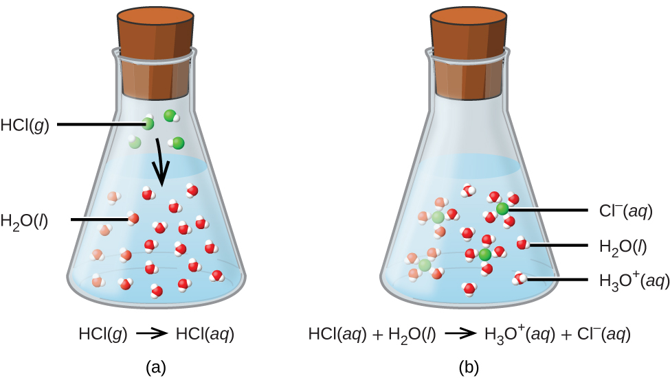This figure shows two flasks, labeled a and b. The flasks are both sealed with stoppers and are nearly three-quarters full of a liquid. Flask a is labeled H C l followed by g in parentheses. In the liquid there are approximately twenty space-filling molecular models composed of one red sphere and two smaller attached white spheres. The label H subscript 2 O followed by a q in parentheses is connected with a line to one of these models. In the space above the liquid in the flask, four space filling molecular models composed of one larger green sphere to which a smaller white sphere is bonded are shown. To one of these models, the label H C l followed by g in parentheses is attached with a line segment. An arrow is drawn from the space above the liquid pointing down into the liquid below. Flask b is labeled H subscript 3 O superscript positive sign followed by a q in parentheses. This is followed by a plus sign and C l superscript negative sign which is also followed by a q in parentheses. In this flask, no molecules are shown in the open space above the liquid. A label, C l superscript negative sign followed by a q in parentheses, is connected with a line segment to a green sphere. This sphere is surrounded by four molecules composed each of one red sphere and two white smaller spheres. A few of these same molecules appear separate from the green spheres in the liquid. A line segment connects one of them to the label H subscript 2 O which is followed by l in parentheses. There are a few molecules formed from one central larger red sphere to which three smaller white spheres are bonded. A line segment is drawn from one of these to the label H subscript 3 O superscript positive sign, followed by a q in parentheses.