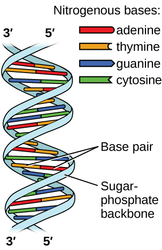 "Two images are shown. The first lies on the left side of the page and shows a helical structure like a twisted ladder where the rungs of the ladder, labeled ""Base pair"" are red, yellow, green and blue paired bars. The red and yellow bars, which are always paired together, are labeled in the legend, which is titled ""Nitrogenous bases"" as ""adenine"" and ""thymine,"" respectively. The blue and green bars, which are always paired together, are labeled in the legend as ""guanine"" and ""cytosine,"" respectively. At the top of the helical structure, the left-hand side rail, or ""Sugar, dash, phosphate backbone,"" is labeled as ""3, prime"" while the right is labeled as ""5, prime."" These labels are reversed at the bottom of the helix. To the right of the page is a large Lewis structure. The top left corner of this structure, labeled ""5, prime,"" shows a phosphorus atom single bonded to three oxygen atoms, one of which has a superscripted negative charge, and double bonded to a fourth oxygen atom. One of the single bonded oxygen atoms is single bonded to the left corner of a five-membered ring with an oxygen atom at its top point and which is single bonded to an oxygen atom on the bottom left. This oxygen atom is single bonded to a phosphorus atom that is single bonded to two other hydrogen atoms and double bonded to a fourth oxygen atom. The lower left of these oxygen atoms is single bonded to another oxygen atom that is single bonded to a five-membered ring with an oxygen in the upper bonding site. The bottom left of this ring has a hydroxyl group attached to it while the upper right carbon is single bonded to a nitrogen atom that is part of a five-membered ring bonded to a six-membered ring. Both of these rings have points of unsaturation and nitrogen atoms bonded into their structures. On the right side of the six-membered ring are two single bonded amine groups and a double bonded oxygen. Three separate dotted lines extend from these sites to corresponding sites on a second six-membered ring. This ring has points of unsaturation and a nitrogen atom in the bottom right bonding position that is single bonded to a five-membered ring on the right side of the image. This ring is single bonded to a carbon that is single bonded to an oxygen that is single bonded to a phosphorus. The phosphorus is single bonded to two other oxygen atoms and double bonded to a fourth oxygen atom. This group is labeled ""5, prime."" The five-membered ring is also bonded on the top side to an oxygen that is bonded to a phosphorus single bonded to two other oxygen atoms and double bonded to a fourth oxygen atom. The upper left oxygen of this group is single bonded to a carbon that is single bonded to a five-membered ring with an oxygen in the bottom bonding position. This ring has a hydroxyl group on its upper right side that is labeled ""3, prime"" and is bonded on the left side to a nitrogen that is a member of a five-membered ring. This ring is bonded to a six-membered ring and both have points of unsaturation. This ring has a nitrogen on the left side, as well as an amine group, that have two dotted lines leading from them to an oxygen and amine group on a six membered ring. These dotted lines are labeled ""Hydrogen bonds."" The six membered ring also has a double bonded oxygen on its lower side and a nitrogen atom on its left side that is single bonded to a five-membered ring. This ring connects to the two phosphate groups mentioned at the start of this to form a large circle. The name ""guanine"" is written below the lower left side of this image while the name ""cytosine"" is written on the lower right. The name ""thymine"" is written above the right side of the image and ""adenine"" is written on the top right. Three sections are indicated below the images where the left is labeled ""Sugar, dash, phosphate backbone,"" the middle is labeled ""Bases"" and the right is labeled ""Sugar, dash, phosphate backbone."""