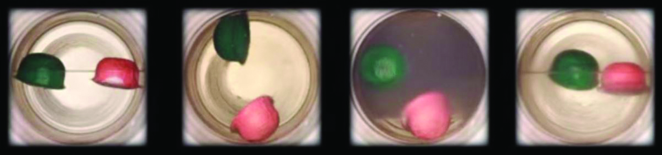 Four photographs are shown where each shows a circular container with a green and red float in each. In the left diagram, the container is half filled with a colorless liquid and the floats sit on the surface of the liquid. In the second photo, the green float is near the top and the red float lies near the bottom of the container. In the third photo, the fluid is darker and the green float sits halfway up the container while the red is sitting at the bottom. In the right photo, the liquid is colorless again and the two floats sit on the surface.