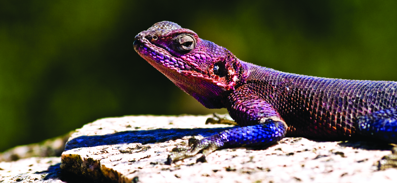 A photograph shows the head and part of the body of a lizard on a rock in a well-lit area.