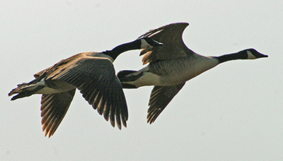 Two Canada geese flying close to each other in the sky.