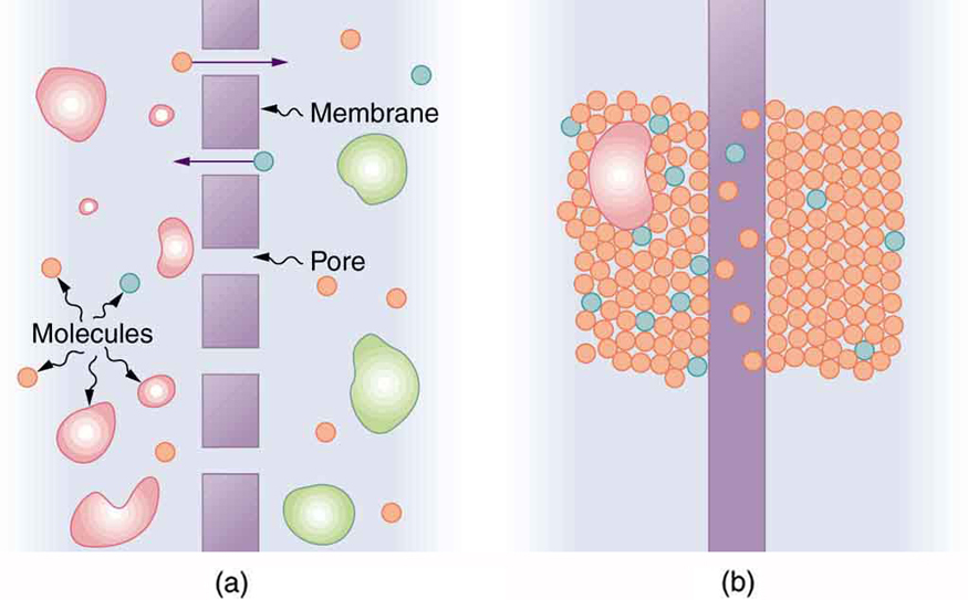 Part a of the figure shows a semi permeable membrane shown as small rectangular sections in a vertical line, separated by small gaps called as pores. Molecules are shown in all shapes on both the sides of the membranes. Some molecules are shown to diffuse through the pores. Part b of the diagram shows molecules in the form of small spheres packed on both sides of a single vertical rectangular membrane. Some molecules are shown to dissolve in this membrane and diffuse across it.