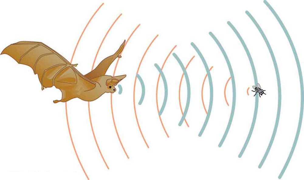 The picture is of a bat trying to catch its prey an insect using sound echoes. The incident sound and sound reflected from the bat are shown as semicircular arcs.