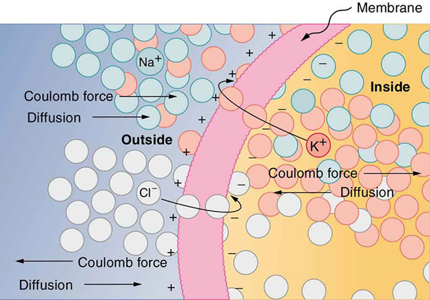 The semipermeable membrane of a cell is shown, with different concentrations of potassium cations, sodium cations, and chloride anions inside and outside the cell. The ions are represented by small, colored circles. In its resting state, the cell membrane is permeable to potassium and chloride ions, but it is impermeable to sodium ions. By diffusion, potassium cations travel out of the cell, going through the cell membrane and forming a layer of positive charge on the outer surface of the membrane. By diffusion, chloride anions go into the cell, going through the cell membrane and forming a layer of negative charge on the inner surface of the membrane. As a result, a voltage is set up across the cell membrane. The Coulomb force prevents all the ions from crossing the membrane.