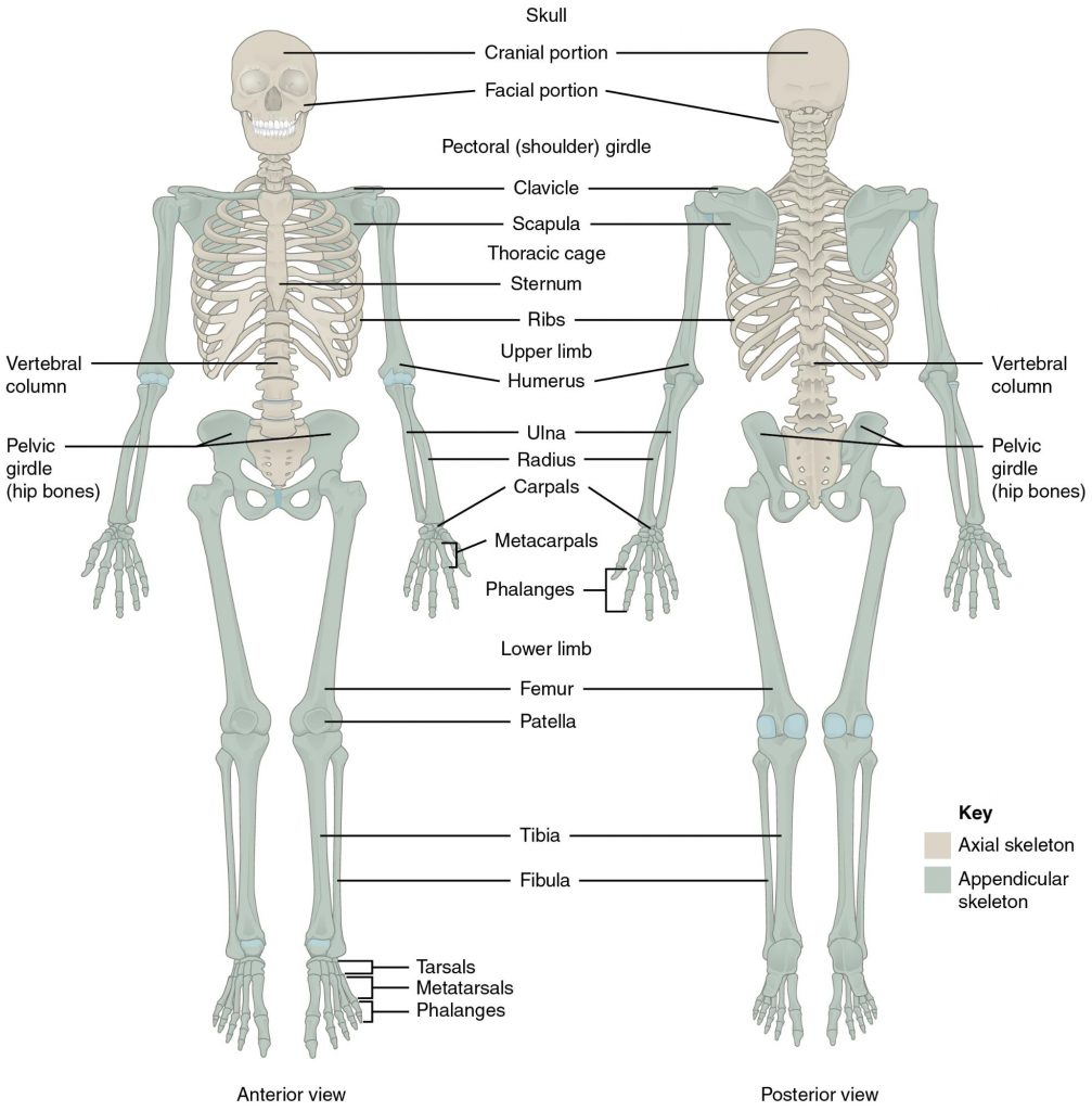 The Skeletal System Human Nutrition Deprecated