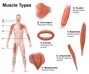 Protein Fuels Muscle Building