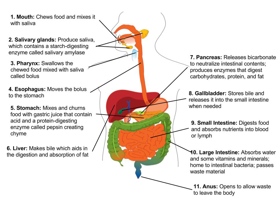 Digestive System Overview Human Nutrition Deprecated