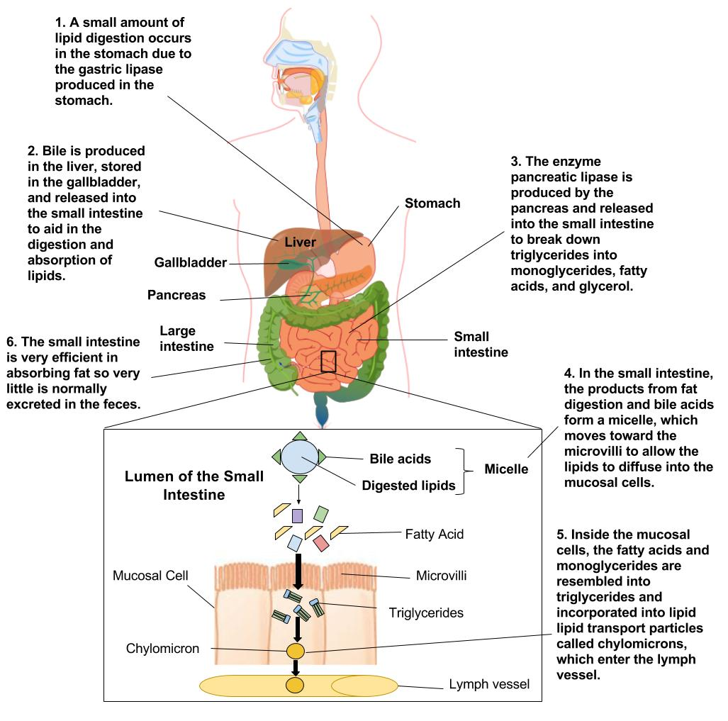 Lipid Digestion And Absorption Human Nutrition Deprecated