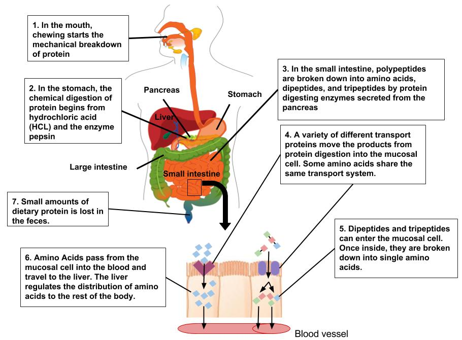 Digestion and Absorption of Protein