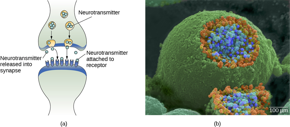 Image (a) shows the synaptic space between two neurons, with neurotransmitters being released into the synapse and attaching to receptors. Image (b) is a micrograph showing a spherical terminal button with part of the exterior removed, revealing a solid interior of small round parts.
