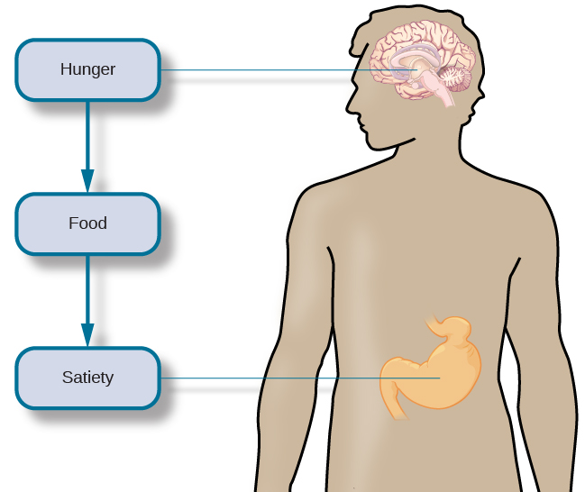 "An outline of the top half of a human body contains illustrations of the brain and the stomach in their relative locations. A line extends from the location of the hypothalamus in the brain illustration, out to the left, past the outline, where it meets a box labeled ""Hunger."" Down-facing arrows connect that box to a box labeled ""Food,"" and the box labeled ""Food"" to a box labeled ""Satiety."" A line extends out to the right from the box labeled ""Satiety,"" and meets with the illustration of the stomach."